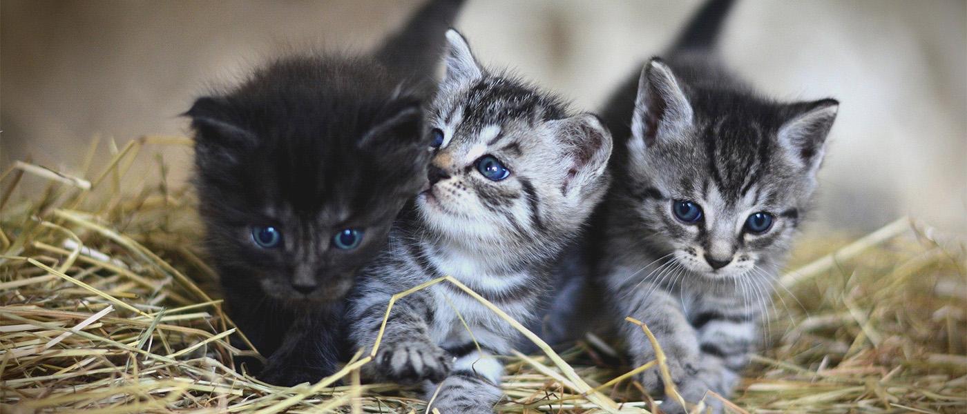 chats anti inflammatoires