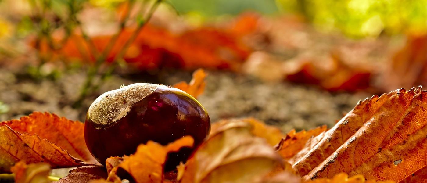 chesnut fleur de bach