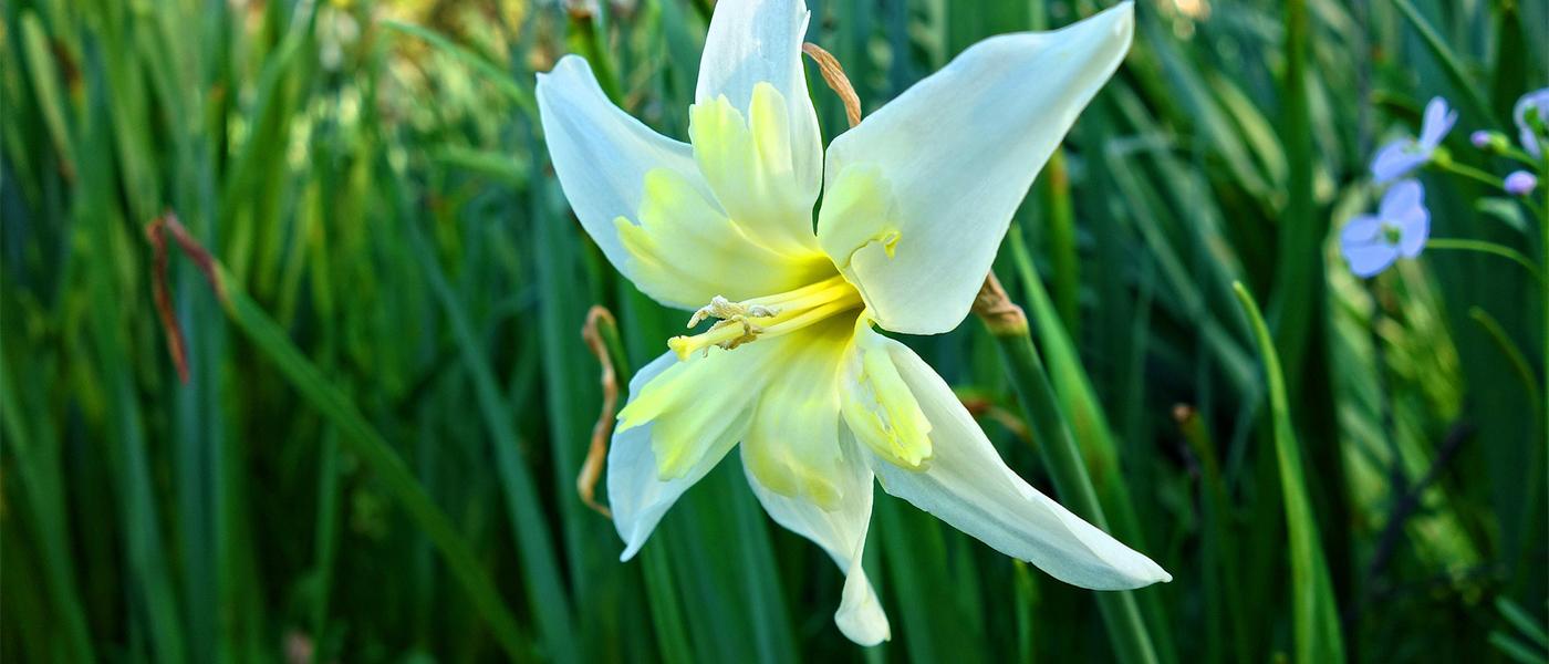 fleur satr of bethlehem