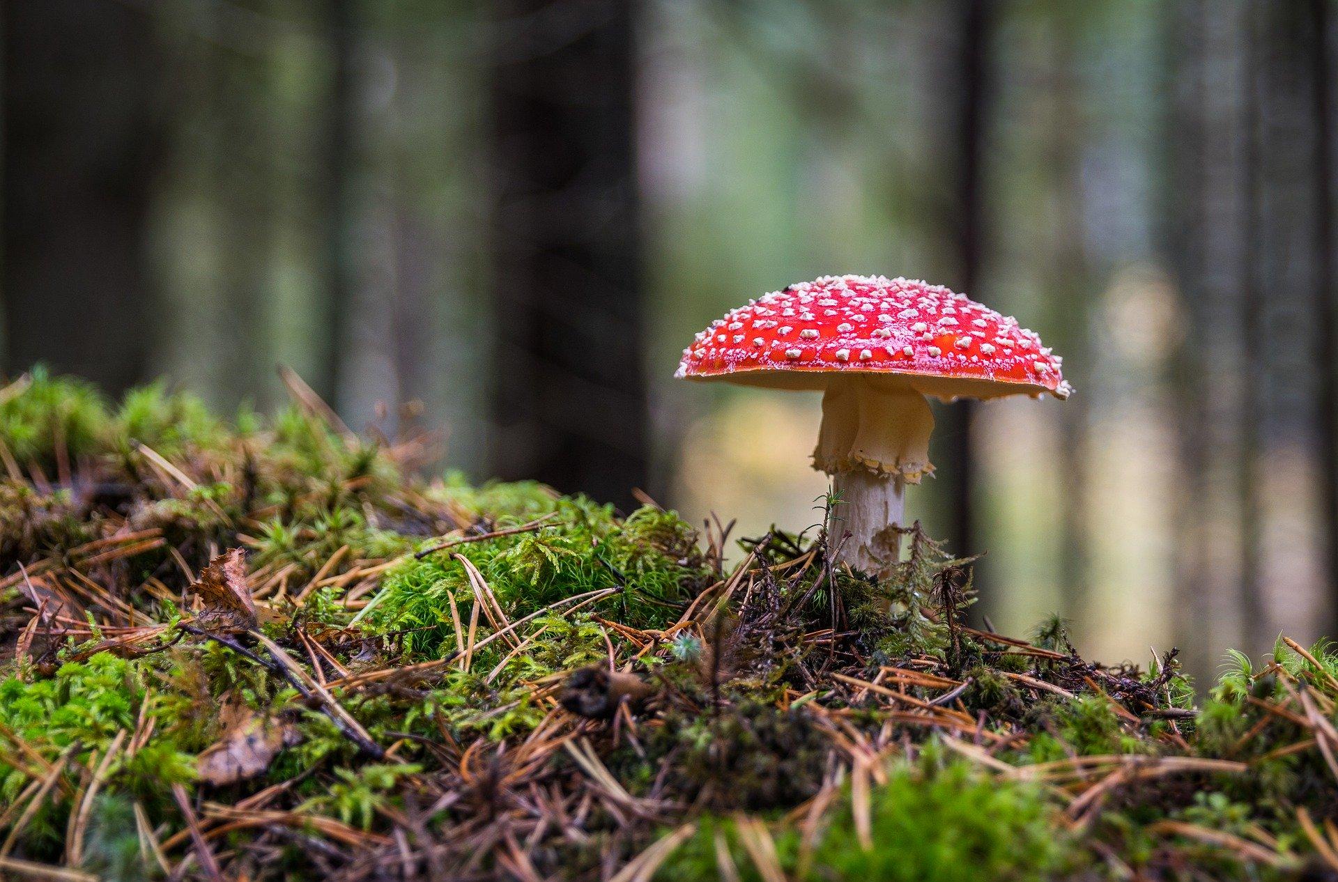 champignon venimeux